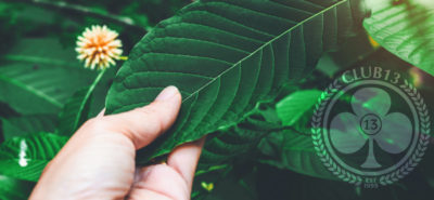picture of hand touching green kratom leaf with club13 logo