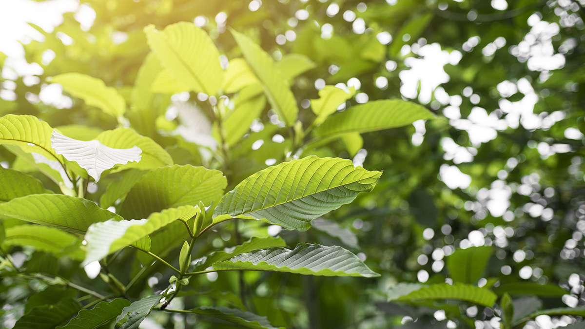 picture of kratom plant club13